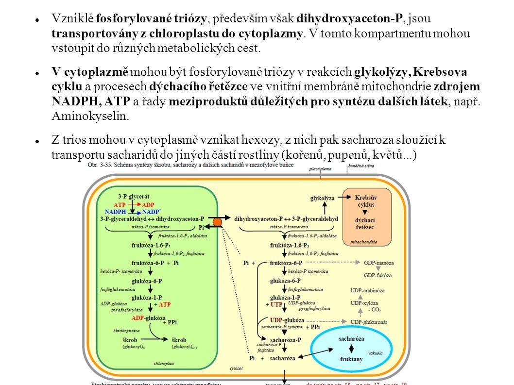 Vzniklé fosforylované triózy, především však dihydroxyaceton-P, jsou transportovány z chloroplastu do cytoplazmy. V tomto kompartmentu mohou vstoupit do různých metabolických cest.