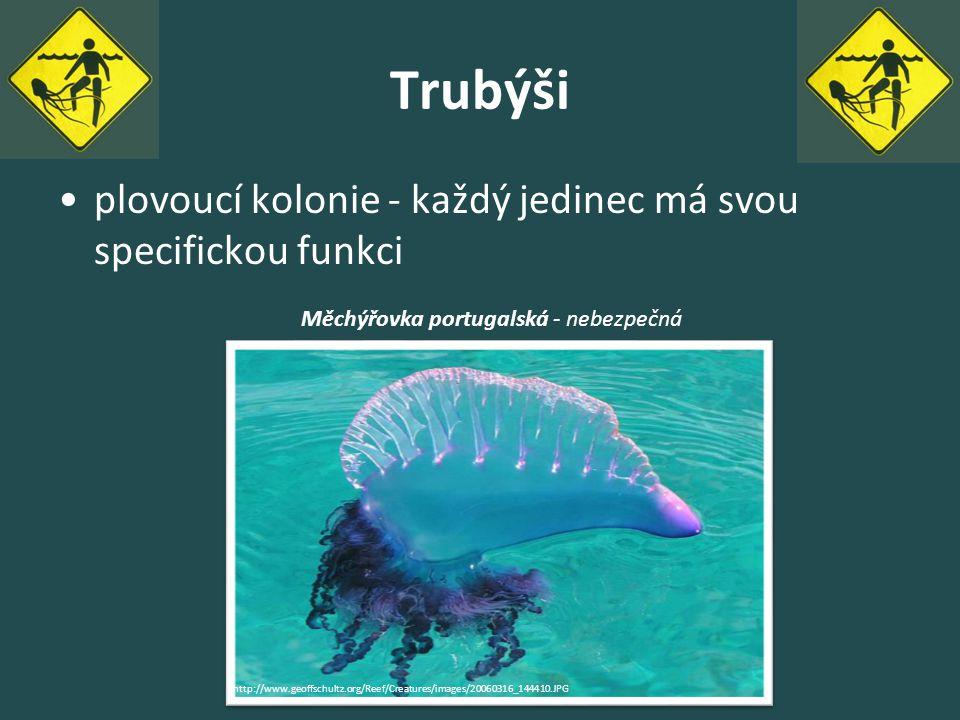 Trubýši plovoucí kolonie - každý jedinec má svou specifickou funkci