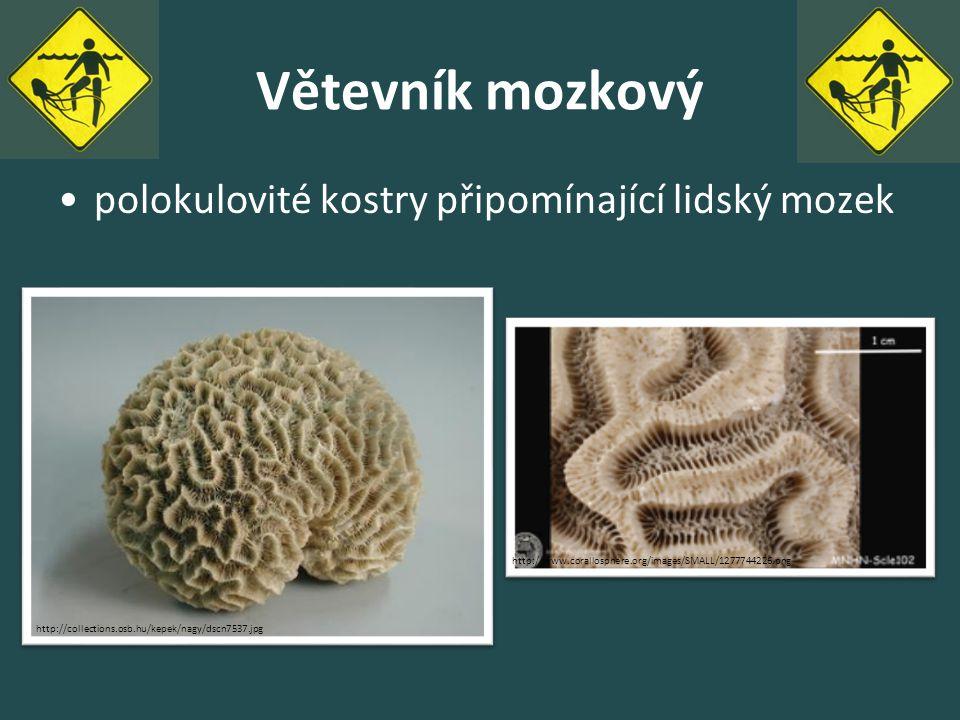Větevník mozkový polokulovité kostry připomínající lidský mozek