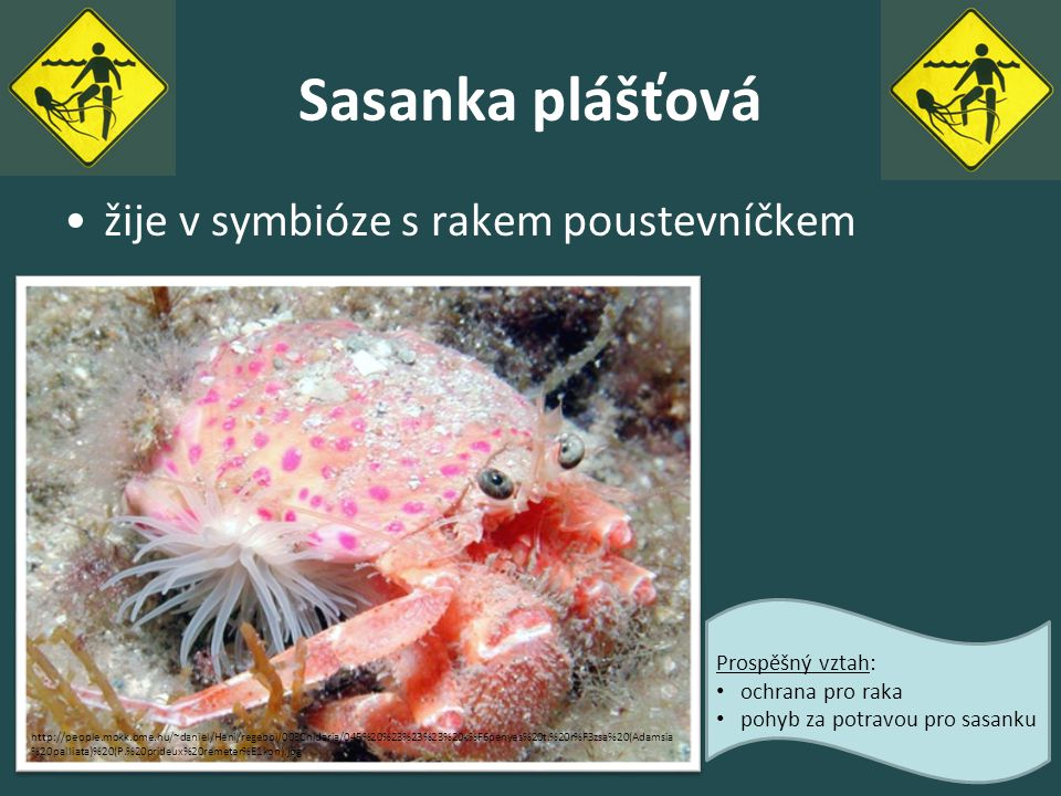 Sasanka plášťová žije v symbióze s rakem poustevníčkem