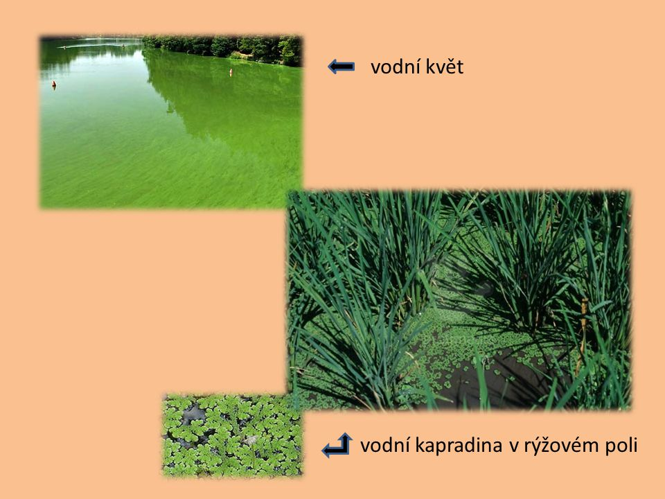 vodní květ vodní kapradina v rýžovém poli