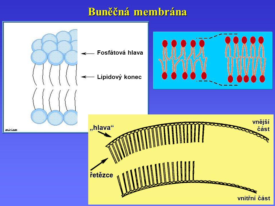"""Buněčná membrána """"hlava řetězce Fosfátová hlava Lipidový konec vnější"""