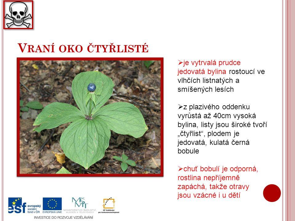 Vraní oko čtyřlisté je vytrvalá prudce jedovatá bylina rostoucí ve vlhčích listnatých a smíšených lesích.