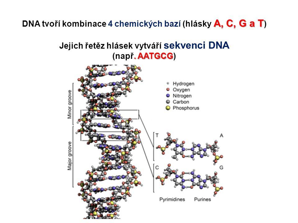 DNA tvoří kombinace 4 chemických bazí (hlásky A, C, G a T)
