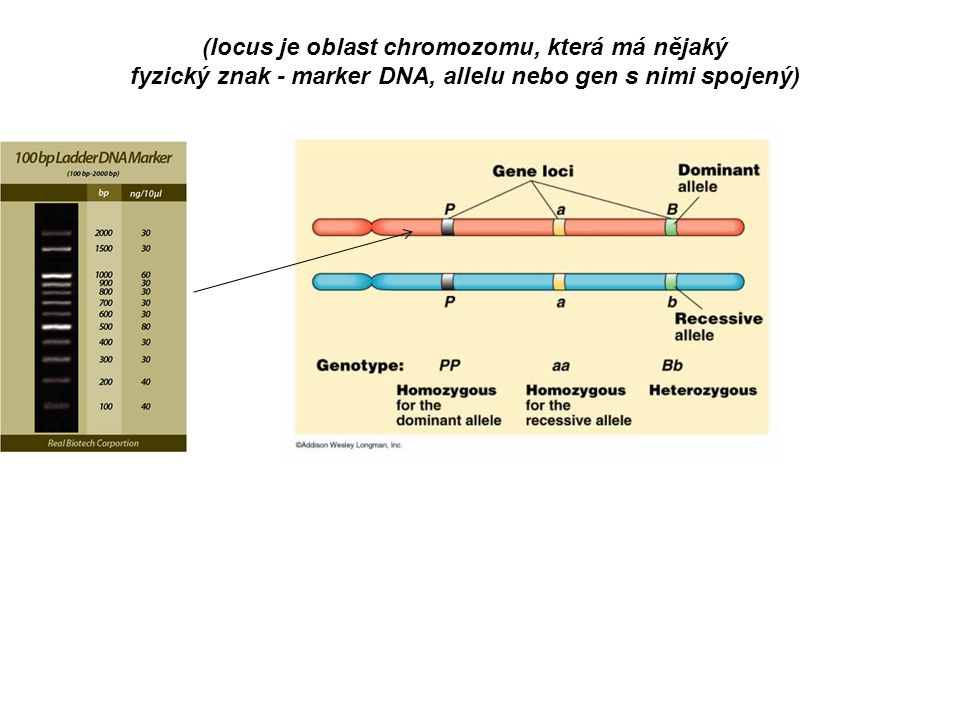 (locus je oblast chromozomu, která má nějaký