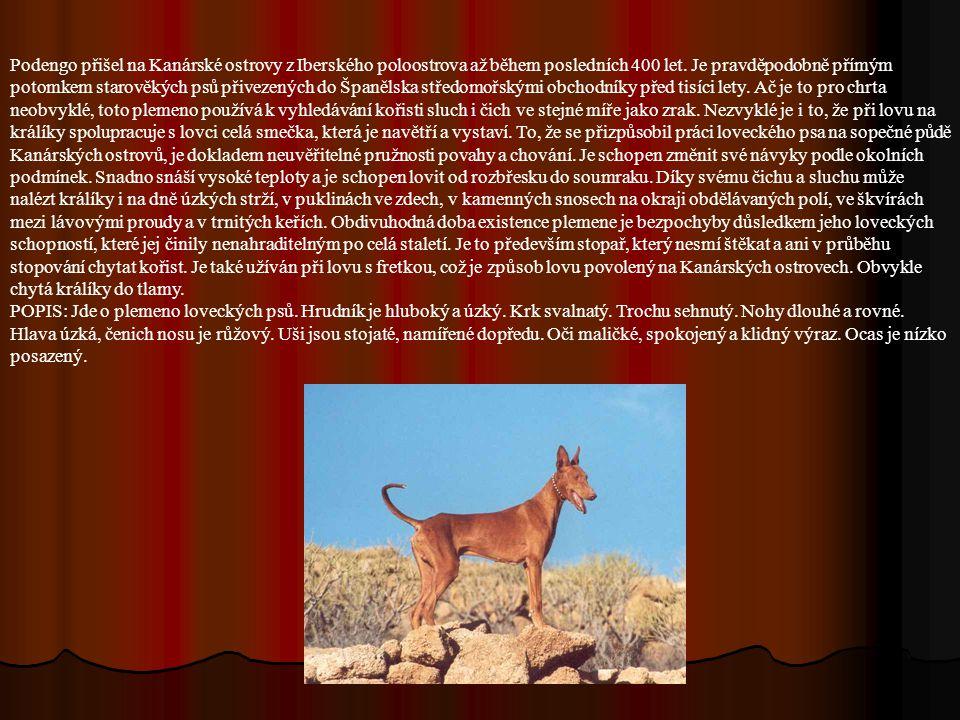 Podengo přišel na Kanárské ostrovy z Iberského poloostrova až během posledních 400 let. Je pravděpodobně přímým potomkem starověkých psů přivezených do Španělska středomořskými obchodníky před tisíci lety. Ač je to pro chrta neobvyklé, toto plemeno používá k vyhledávání kořisti sluch i čich ve stejné míře jako zrak. Nezvyklé je i to, že při lovu na králíky spolupracuje s lovci celá smečka, která je navětří a vystaví. To, že se přizpůsobil práci loveckého psa na sopečné půdě Kanárských ostrovů, je dokladem neuvěřitelné pružnosti povahy a chování. Je schopen změnit své návyky podle okolních podmínek. Snadno snáší vysoké teploty a je schopen lovit od rozbřesku do soumraku. Díky svému čichu a sluchu může nalézt králíky i na dně úzkých strží, v puklinách ve zdech, v kamenných snosech na okraji obdělávaných polí, ve škvírách mezi lávovými proudy a v trnitých keřích. Obdivuhodná doba existence plemene je bezpochyby důsledkem jeho loveckých schopností, které jej činily nenahraditelným po celá staletí. Je to především stopař, který nesmí štěkat a ani v průběhu stopování chytat kořist. Je také užíván při lovu s fretkou, což je způsob lovu povolený na Kanárských ostrovech. Obvykle chytá králíky do tlamy.