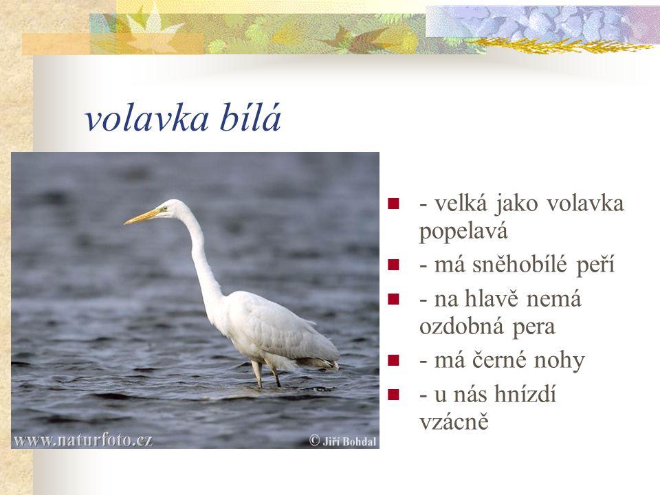 volavka bílá - velká jako volavka popelavá - má sněhobílé peří