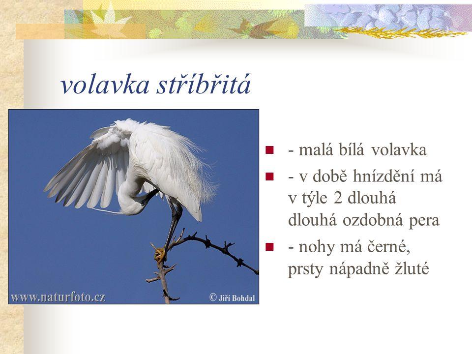 volavka stříbřitá - malá bílá volavka