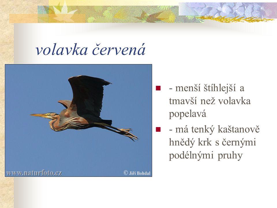 volavka červená - menší štíhlejší a tmavší než volavka popelavá