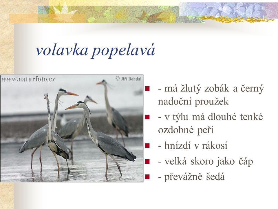 volavka popelavá - má žlutý zobák a černý nadoční proužek