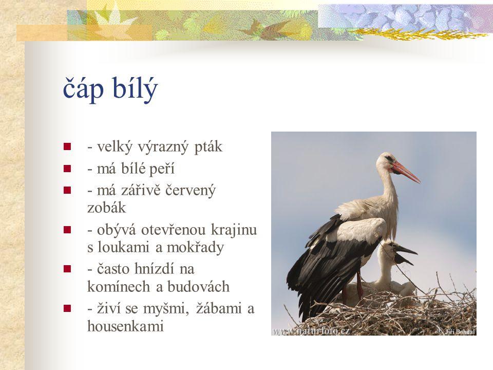 čáp bílý - velký výrazný pták - má bílé peří - má zářivě červený zobák