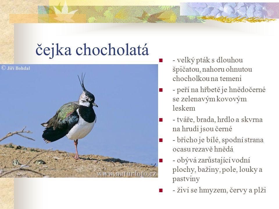 čejka chocholatá - velký pták s dlouhou špičatou, nahoru ohnutou chocholkou na temeni. - peří na hřbetě je hnědočerné se zelenavým kovovým leskem.