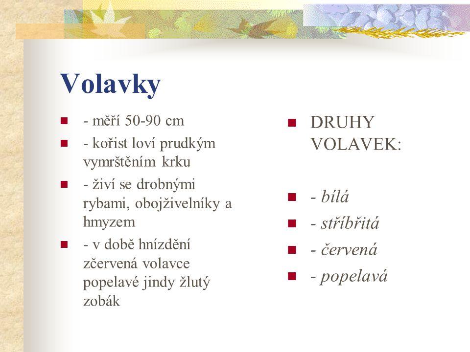 Volavky DRUHY VOLAVEK: - bílá - stříbřitá - červená - popelavá