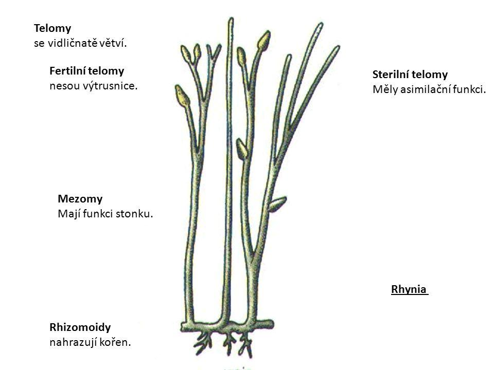 Telomy se vidličnatě větví. Fertilní telomy. nesou výtrusnice. Sterilní telomy. Měly asimilační funkci.