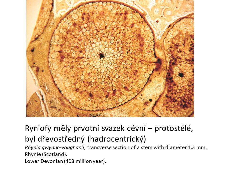 Ryniofy měly prvotní svazek cévní – protostélé,