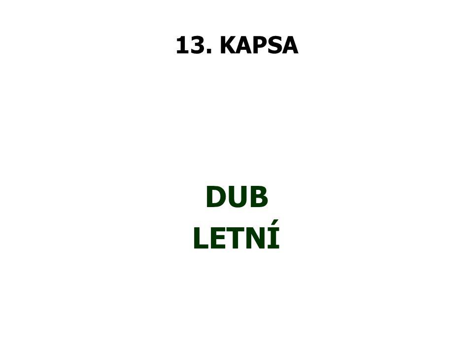 13. KAPSA DUB LETNÍ