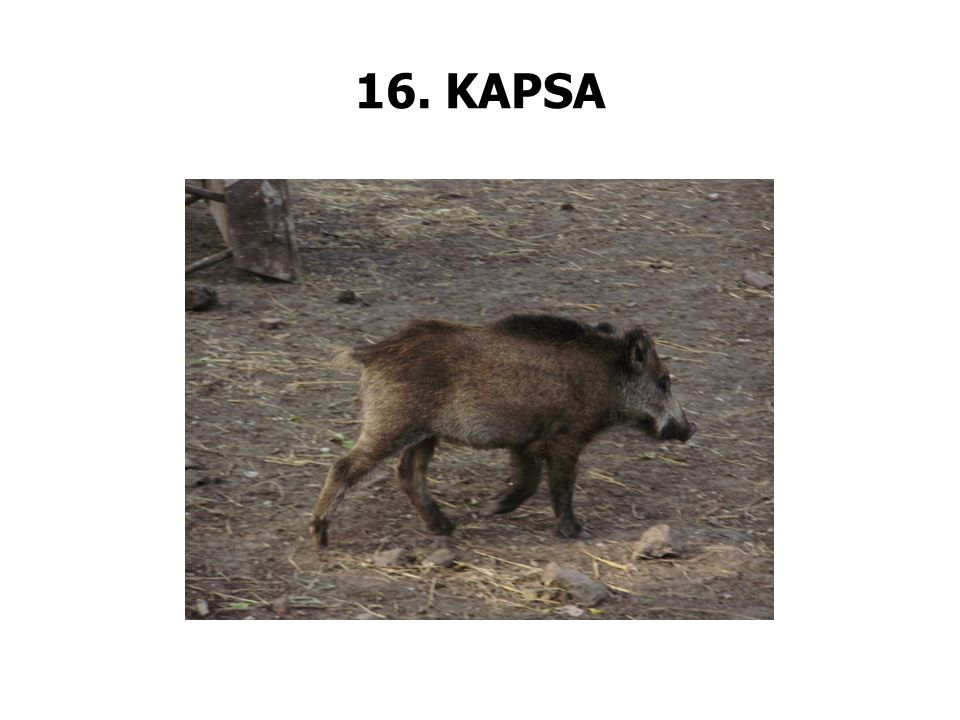 16. KAPSA