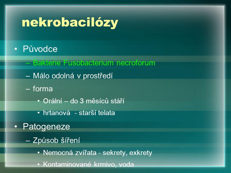 nekrobacilózy Původce Patogeneze Bakterie Fusobacterium necroforum