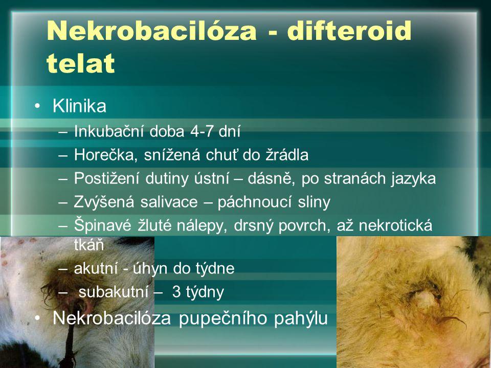 Nekrobacilóza - difteroid telat
