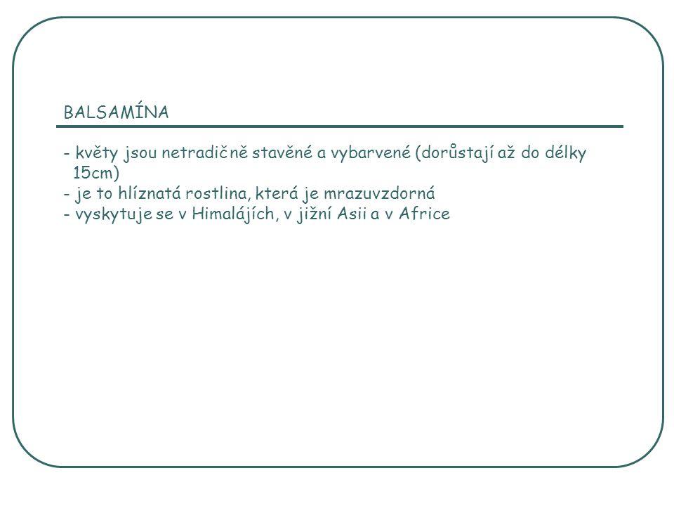 BALSAMÍNA - květy jsou netradičně stavěné a vybarvené (dorůstají až do délky 15cm) - je to hlíznatá rostlina, která je mrazuvzdorná - vyskytuje se v Himalájích, v jižní Asii a v Africe