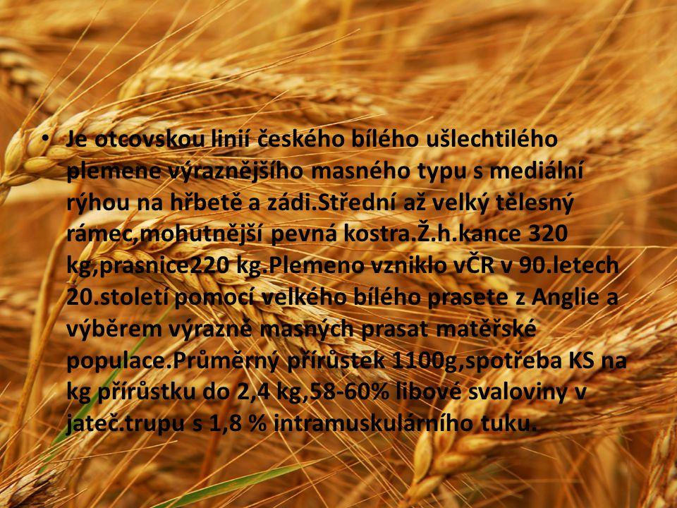 Je otcovskou linií českého bílého ušlechtilého plemene výraznějšího masného typu s mediální rýhou na hřbetě a zádi.Střední až velký tělesný rámec,mohutnější pevná kostra.Ž.h.kance 320 kg,prasnice220 kg.Plemeno vzniklo vČR v 90.letech 20.století pomocí velkého bílého prasete z Anglie a výběrem výrazně masných prasat matěřské populace.Průměrný přírůstek 1100g,spotřeba KS na kg přírůstku do 2,4 kg,58-60% libové svaloviny v jateč.trupu s 1,8 % intramuskulárního tuku.