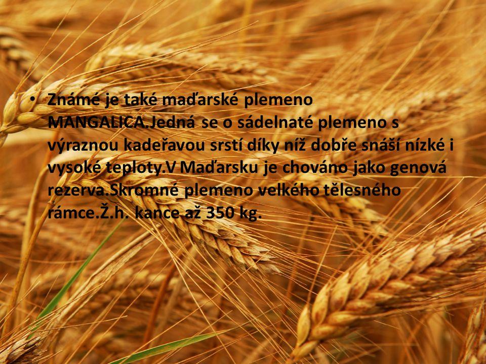 Známé je také maďarské plemeno MANGALICA