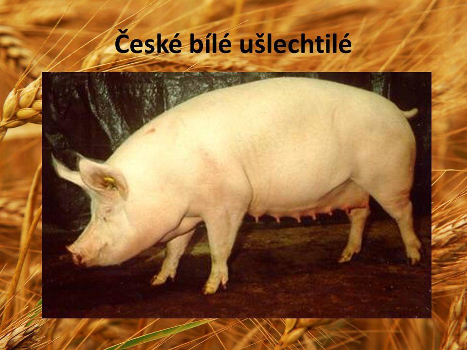 České bílé ušlechtilé