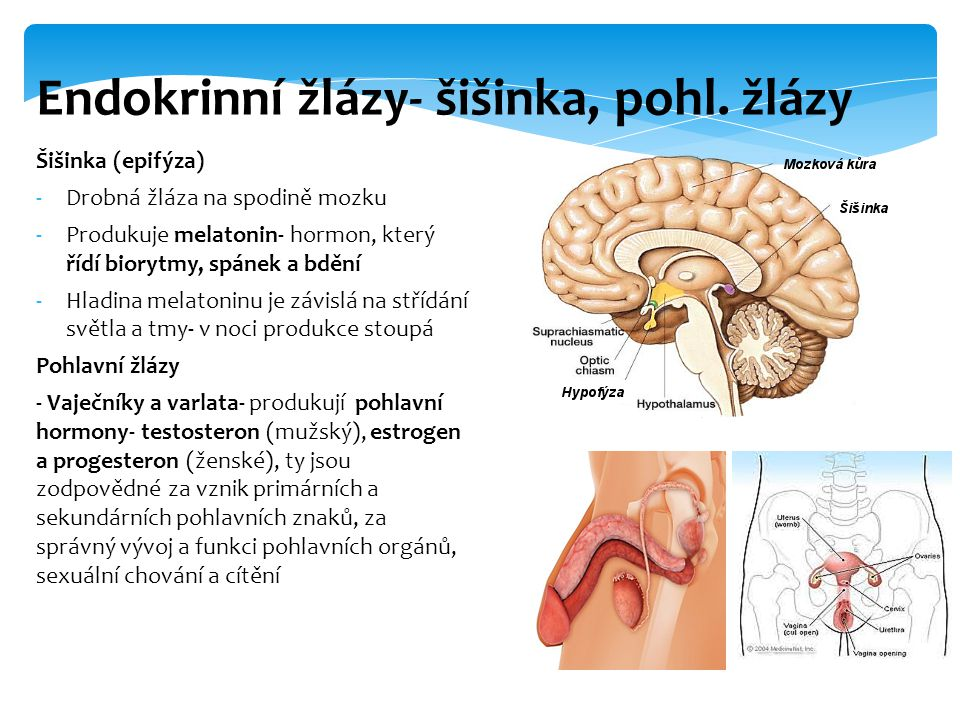 Endokrinní žlázy- šišinka, pohl. žlázy
