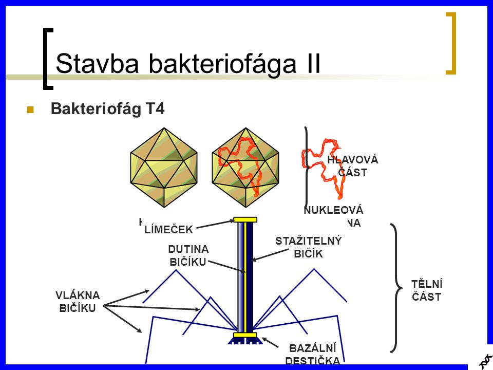 Stavba bakteriofága II