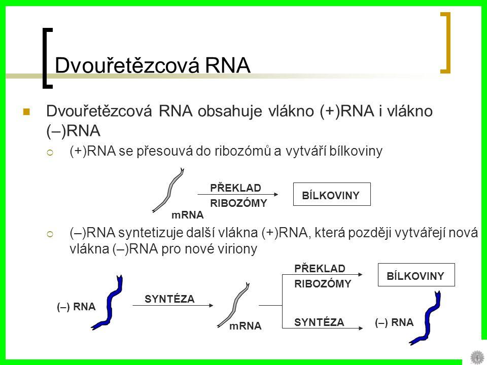 Dvouřetězcová RNA Dvouřetězcová RNA obsahuje vlákno (+)RNA i vlákno (–)RNA. (+)RNA se přesouvá do ribozómů a vytváří bílkoviny.