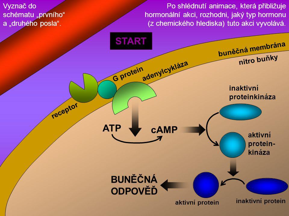 START ATP cAMP BUNĚČNÁ ODPOVĚĎ