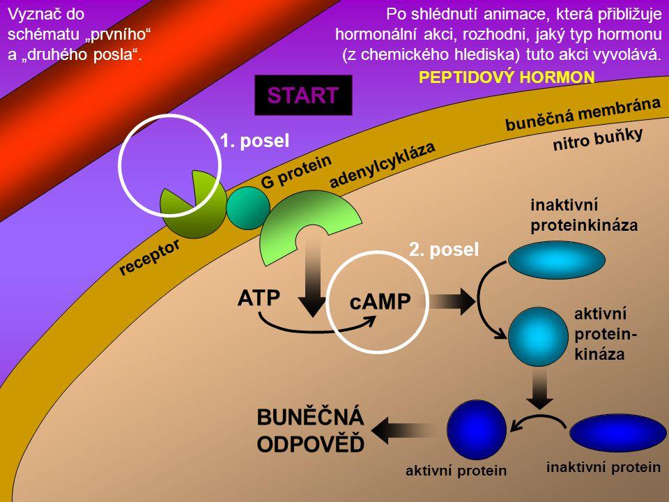 START ATP cAMP BUNĚČNÁ ODPOVĚĎ 1. posel 2. posel