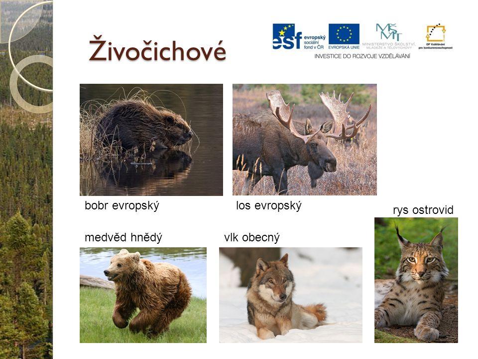 Živočichové bobr evropský los evropský rys ostrovid medvěd hnědý