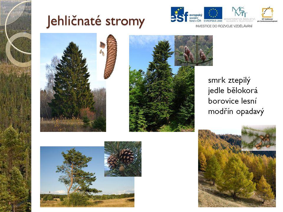 Jehličnaté stromy smrk ztepilý jedle bělokorá borovice lesní