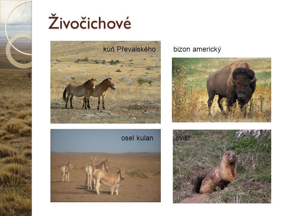 Živočichové kůň Převalského bizon americký osel kulan svišť