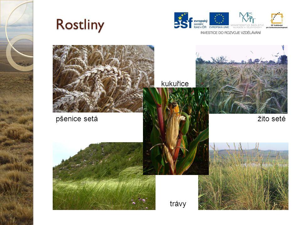 Rostliny kukuřice pšenice setá žito seté trávy
