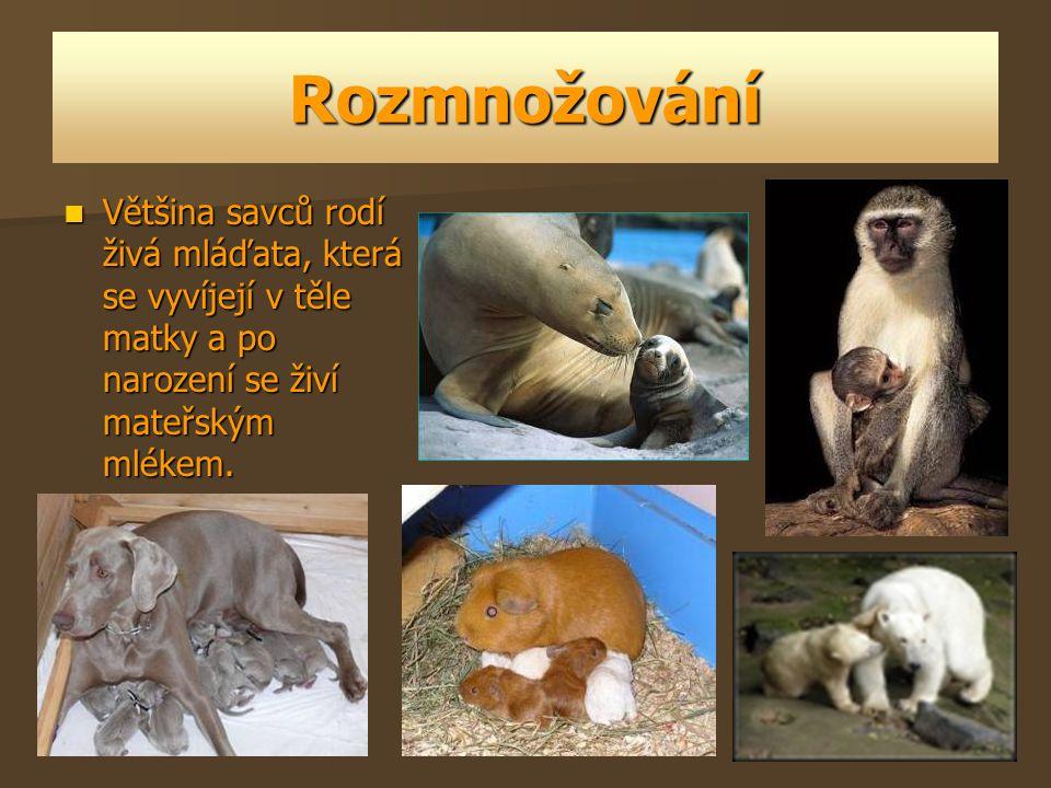 Rozmnožování Většina savců rodí živá mláďata, která se vyvíjejí v těle matky a po narození se živí mateřským mlékem.
