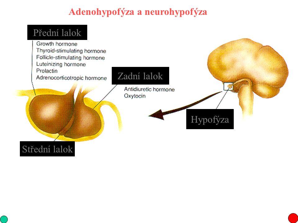 Adenohypofýza a neurohypofýza