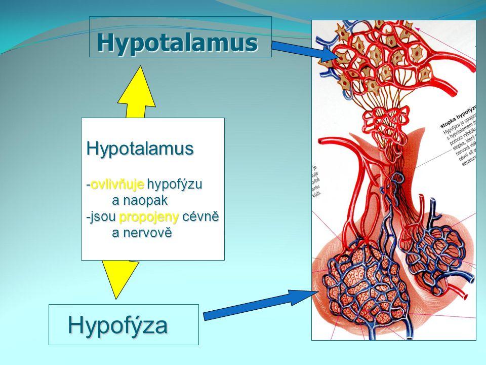 Hypotalamus Hypofýza Hypotalamus -ovlivňuje hypofýzu a naopak