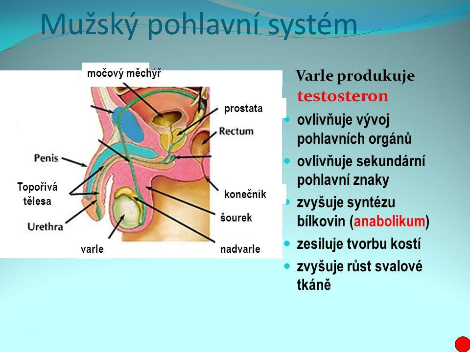 Mužský pohlavní systém