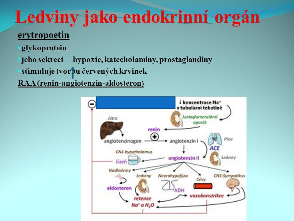 Ledviny jako endokrinní orgán