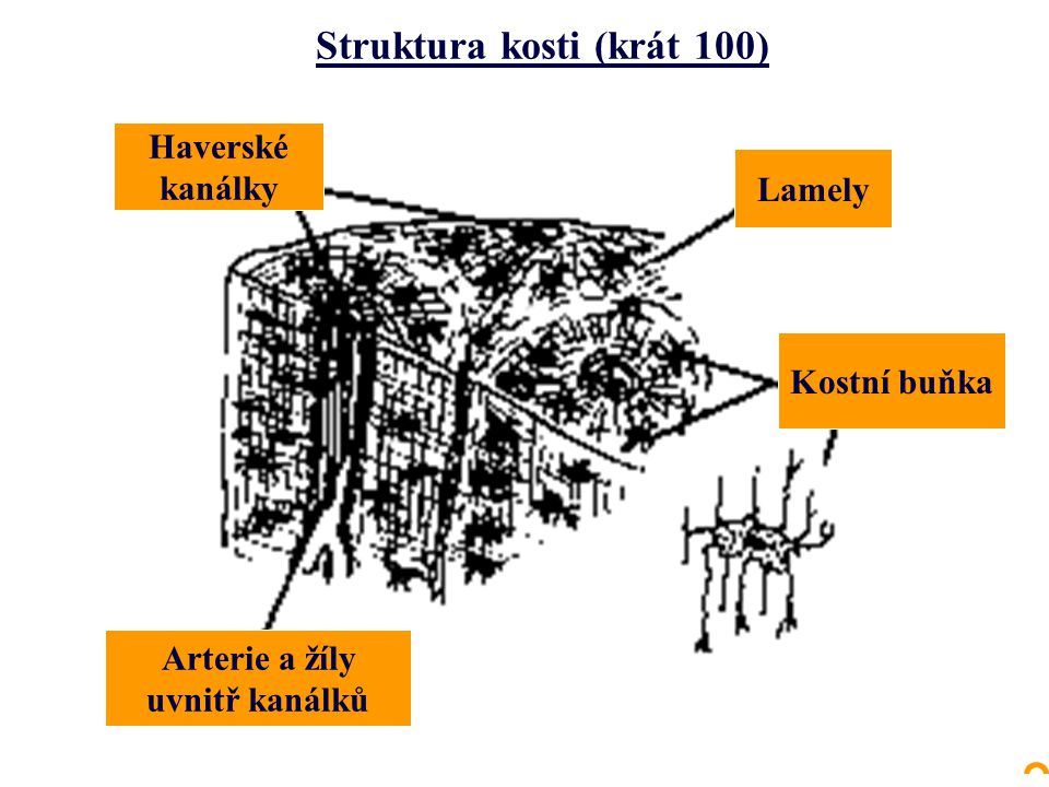 Struktura kosti (krát 100)