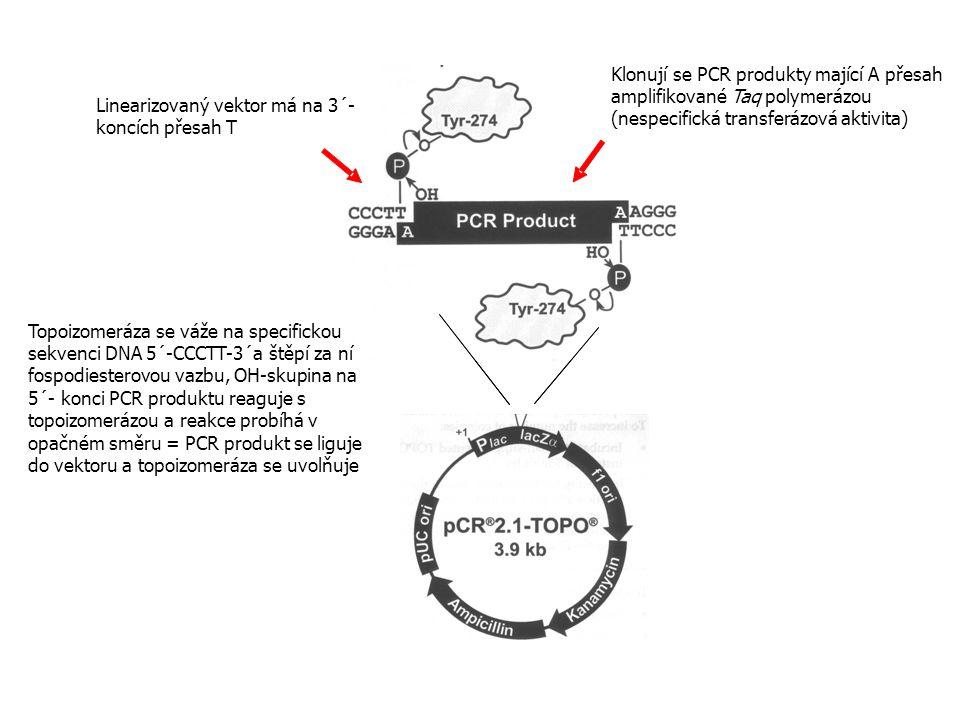 Klonují se PCR produkty mající A přesah amplifikované Taq polymerázou (nespecifická transferázová aktivita)