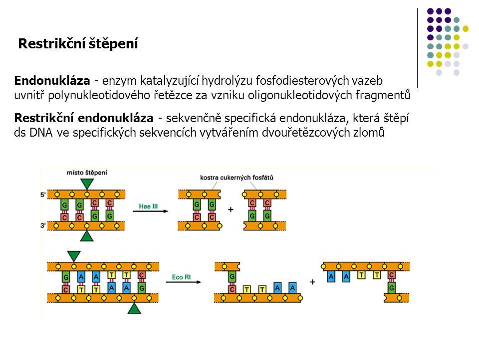 Restrikční štěpení Endonukláza - enzym katalyzující hydrolýzu fosfodiesterových vazeb.
