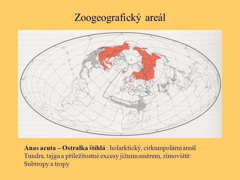Zoogeografický areál Anas acuta – Ostralka štíhlá : holarktický, cirkumpolární areál. Tundra, tajga a příležitostné excesy jižním směrem, zimoviště: