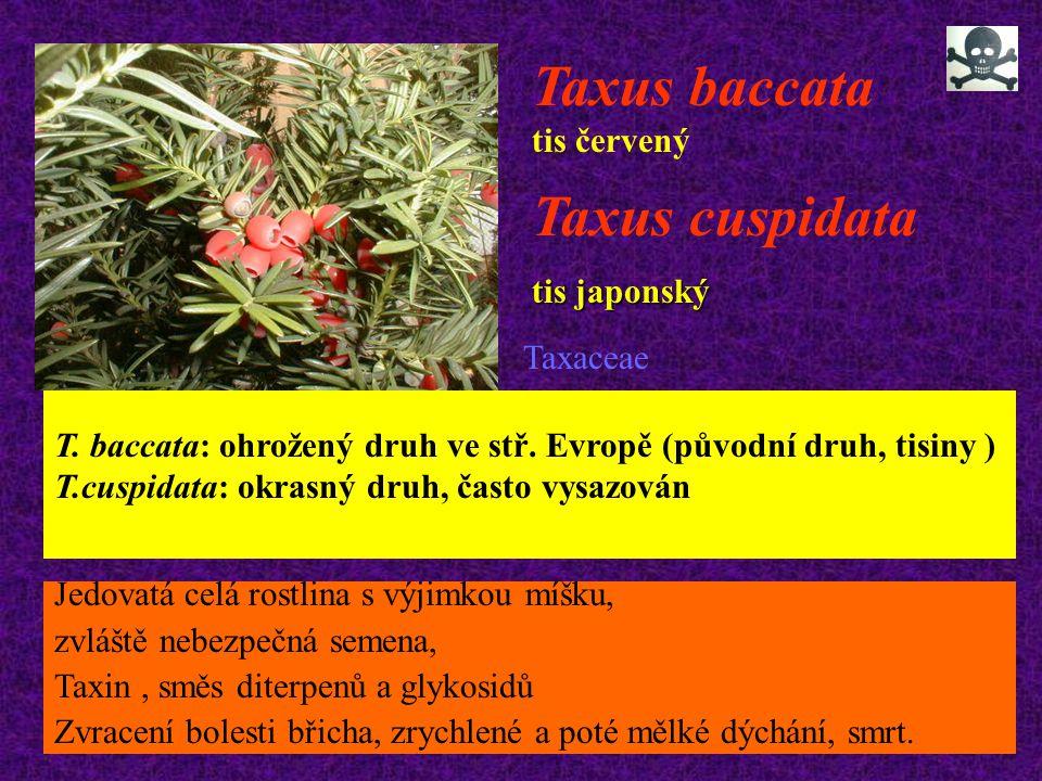 Taxus baccata tis červený