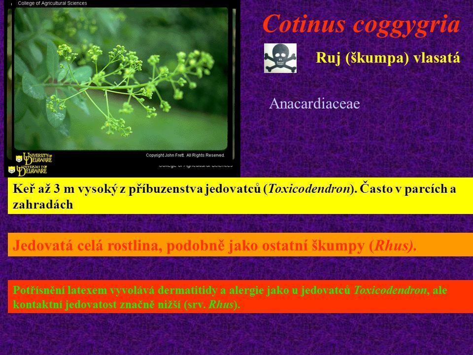Cotinus coggygria Ruj (škumpa) vlasatá Anacardiaceae