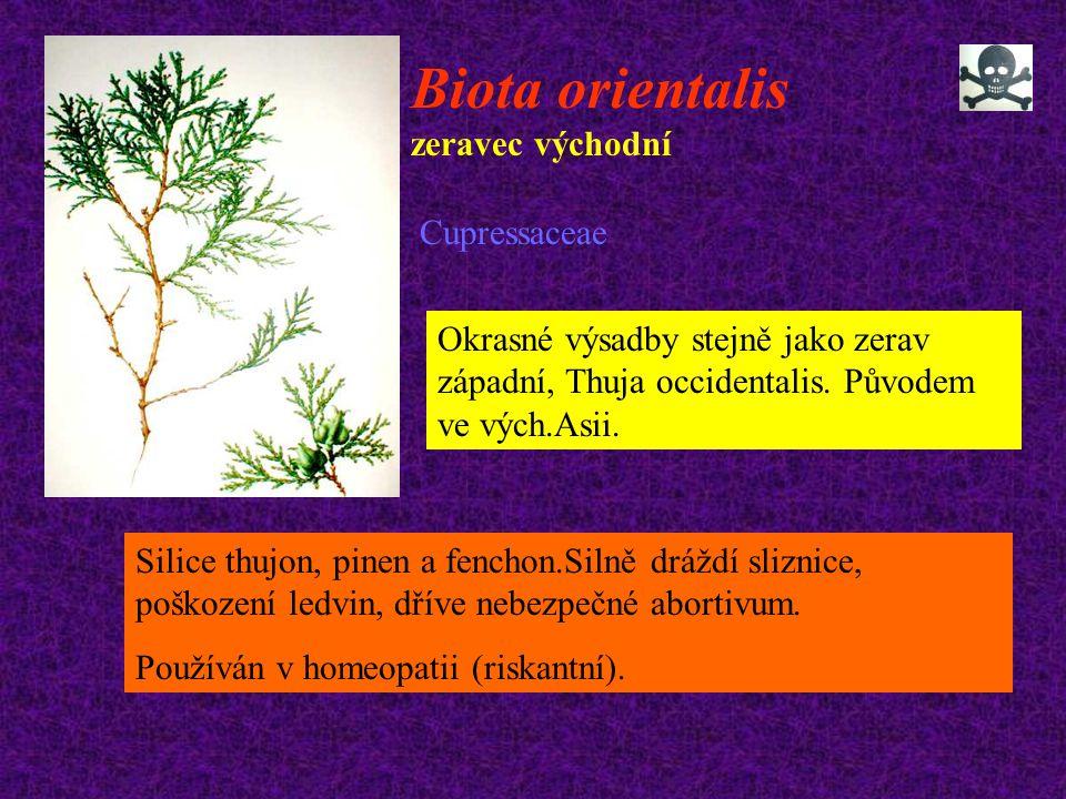 Biota orientalis zeravec východní