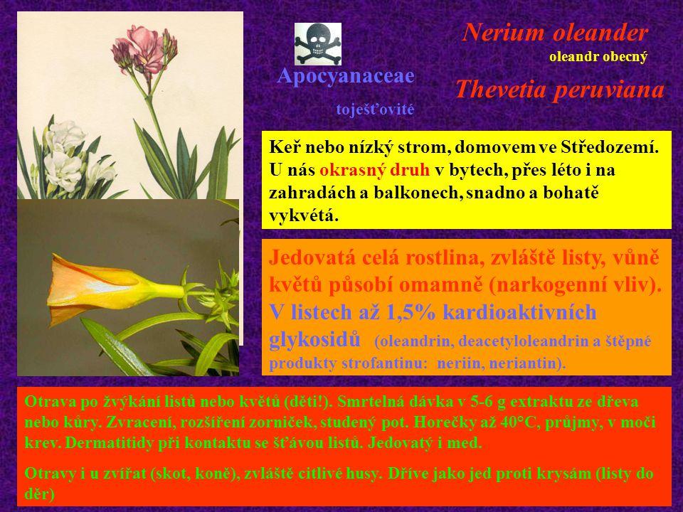 Nerium oleander oleandr obecný