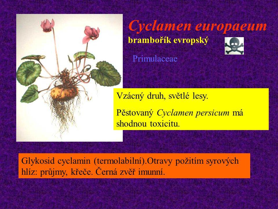 Cyclamen europaeum brambořík evropský